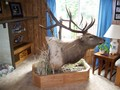 5x6 scored 310 mounted by 3L taxidermy